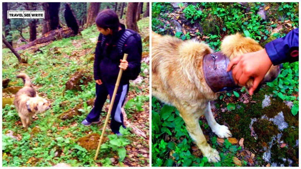 Shepherd dogs giving us Company during the Bashal Peak trek, Sarahan