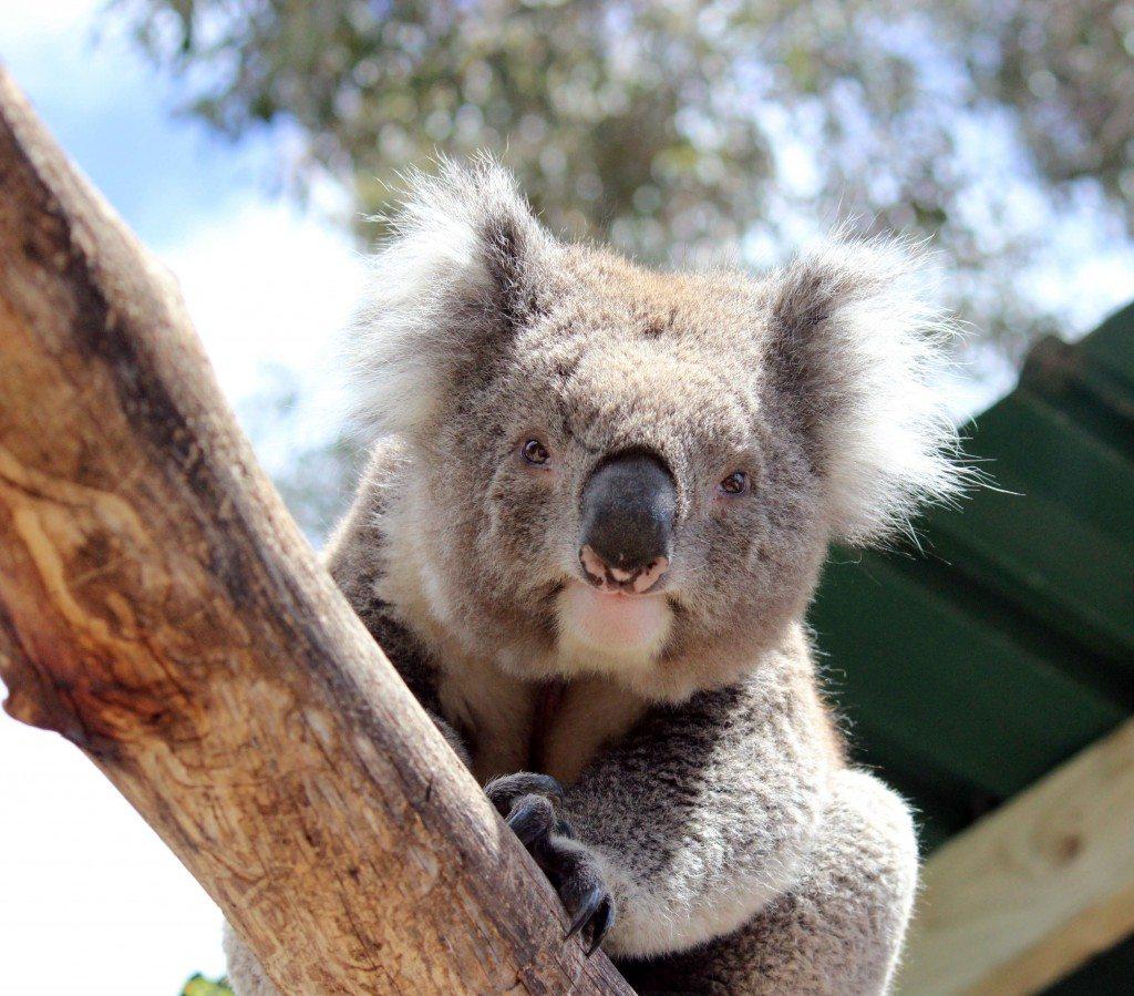 Get up close with Koalas