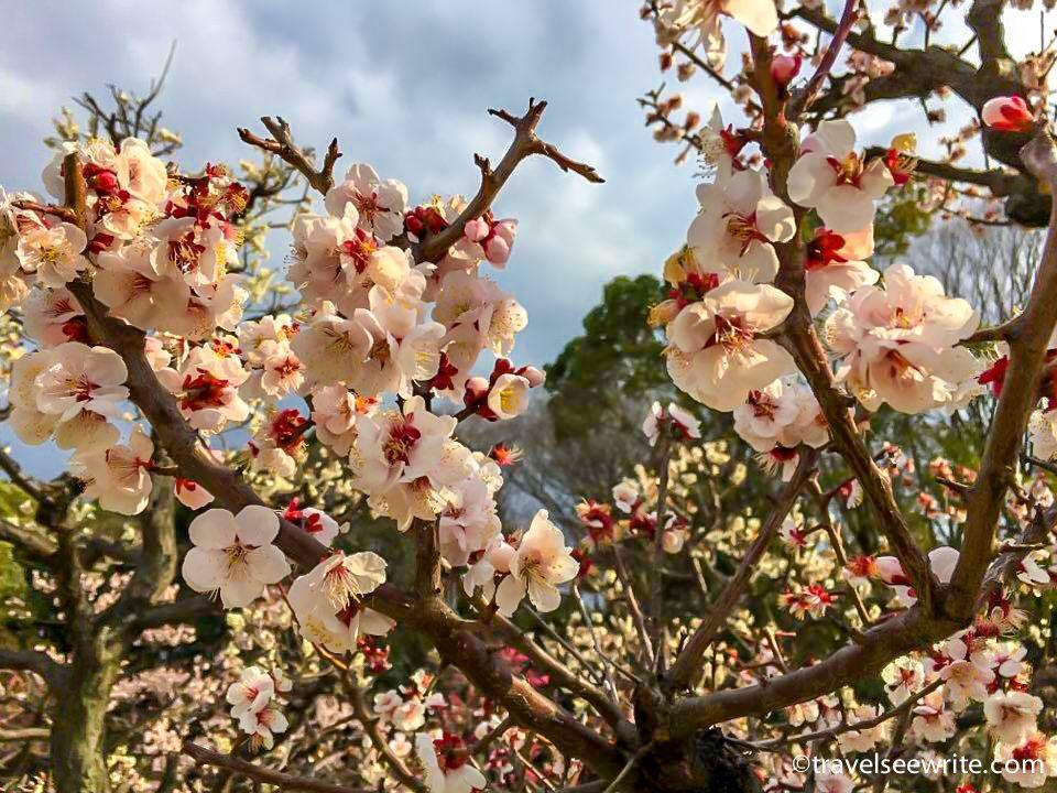Sakura bloom (Cherry blossom) in Japan