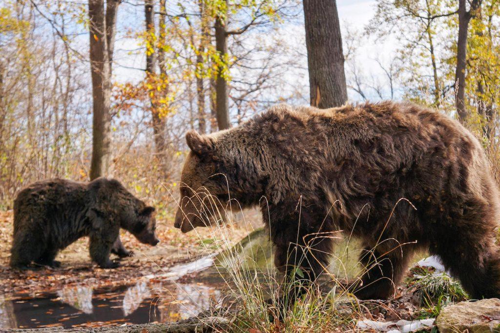 Romania Travel: Visit the Libearty Bear Sanctuary.