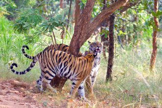 Best Jungle Safari in India is not just about Tiger sighting but it is definitely the highlight