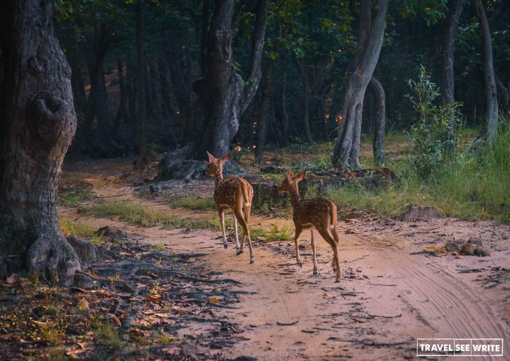 Spotted deer in Bandhavgarh Tiger Reserve, Madhya Pradesh