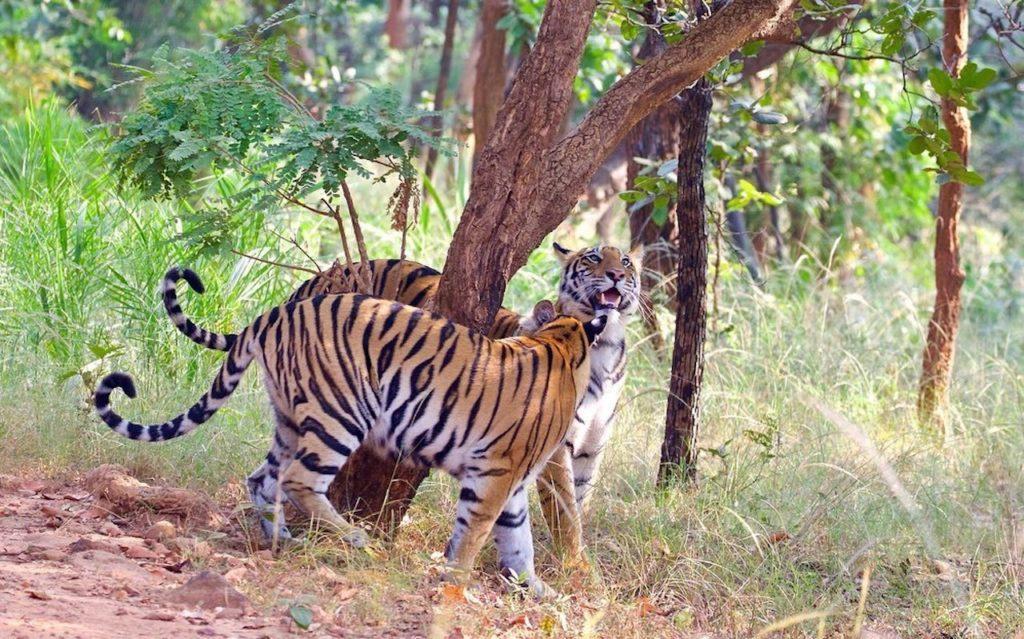 Bandhavgarh has the highest density of Tigers in India