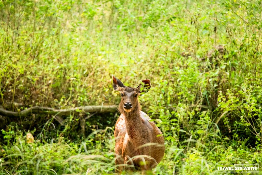 Female Sambar Deer, Kanha Tiger Reserve